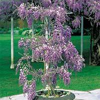 plantas trepadoras flores