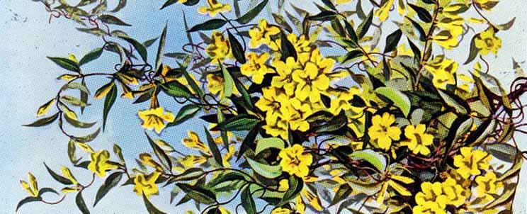 Gelsemium en homeopatía