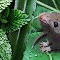 menta para repeler ratas y ratones