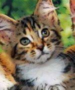 Elegir la raza de un gato según la personalidad