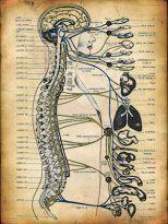 esquema de vértebras y órganos en quiropraxia