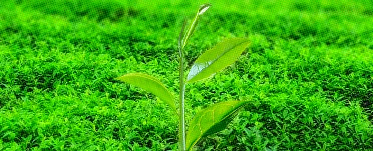 té verde, beneficios, diferencias con té negro, contraindicaciones